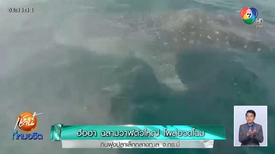ฮือฮา ฉลามวาฬตัวใหญ่ โผล่อวดโฉมกินฝูงปลาเล็กกลางทะเล จ.กระบี่