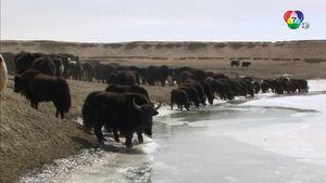 สารคดี The Yellow River China ฮวงโห สายน้ำแห่งชีวิต ตอน 3