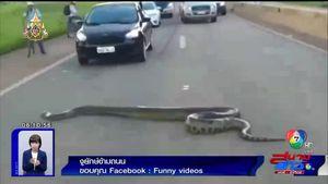 ผวา! พบงูอนาคอนดาข้ามถนน ประชาชนแห่ถ่ายรูป อำนวยความสะดวก