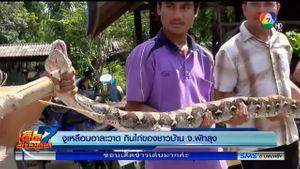 ชาวบ้านพัทลุงจับงูเหลือมยักษ์ บุกกินไก่ชาวบ้าน หลักฐานป่องคาท้อง