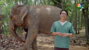 ภาพยนตร์เชิงสารคดีชุดช้างไทย : ตอน 8 กลับบ้าน คลิป 3/4
