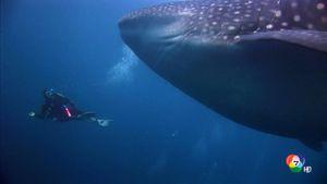 สารคดี Spingtime In The Galapagos กาลาปากอส วิมานแห่งท้องทะเล ตอน 4