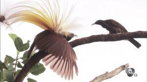 สารคดี Bird of Paradise ท่องโลกวิหคแห่งพงไพร ตอน 2