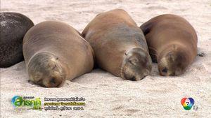 สารคดี Spingtime In The Galapagos กาลาปากอส วิมานแห่งท้องทะเล ตอน 2
